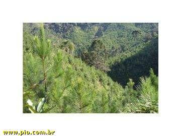 REFLORESTAMENTO DE PINUS - SC (26 hec) - REBELLO IMÓVEIS - Imagem1