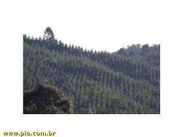 REFLORESTAMENTO DE PINUS - SC (26 hec) - REBELLO IMÓVEIS - Imagem5