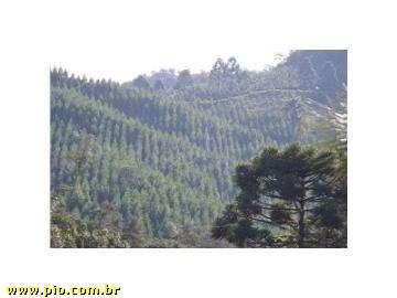 REFLORESTAMENTO DE PINUS - SC (26 hec) - REBELLO IMÓVEIS - Imagem6